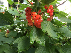 Red Lake Currants, July 2015